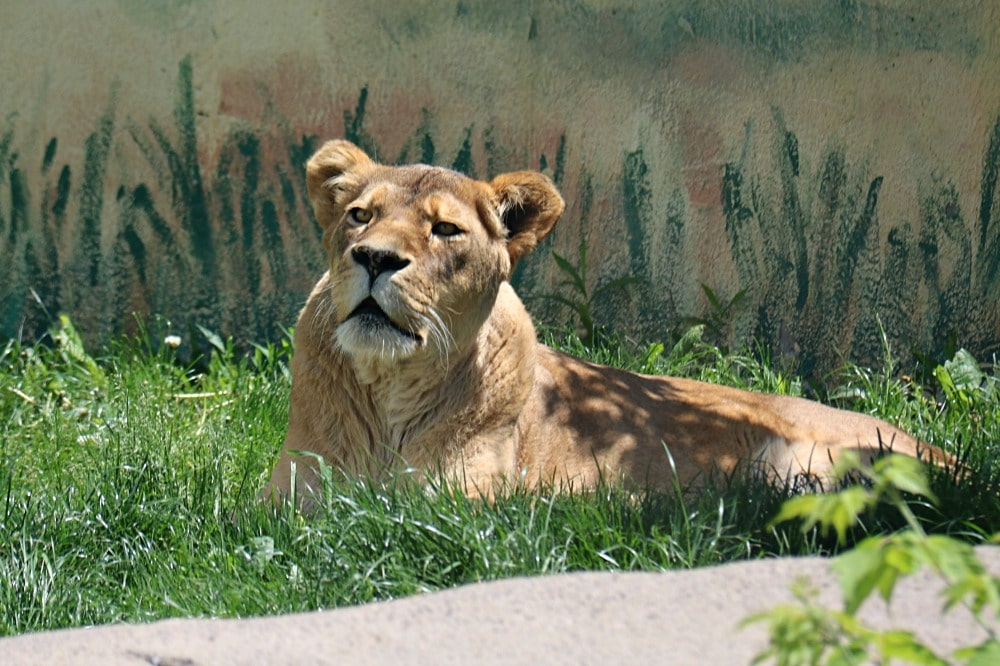Syracuse Zoo - Female Lion