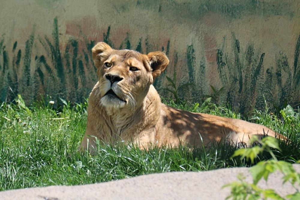 Syracuse Zoo - Female Lion