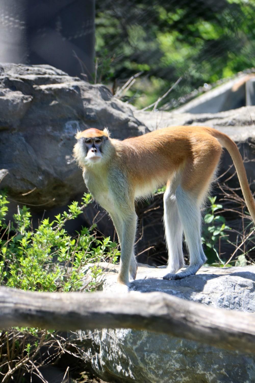 Syracuse Zoo - Monkey