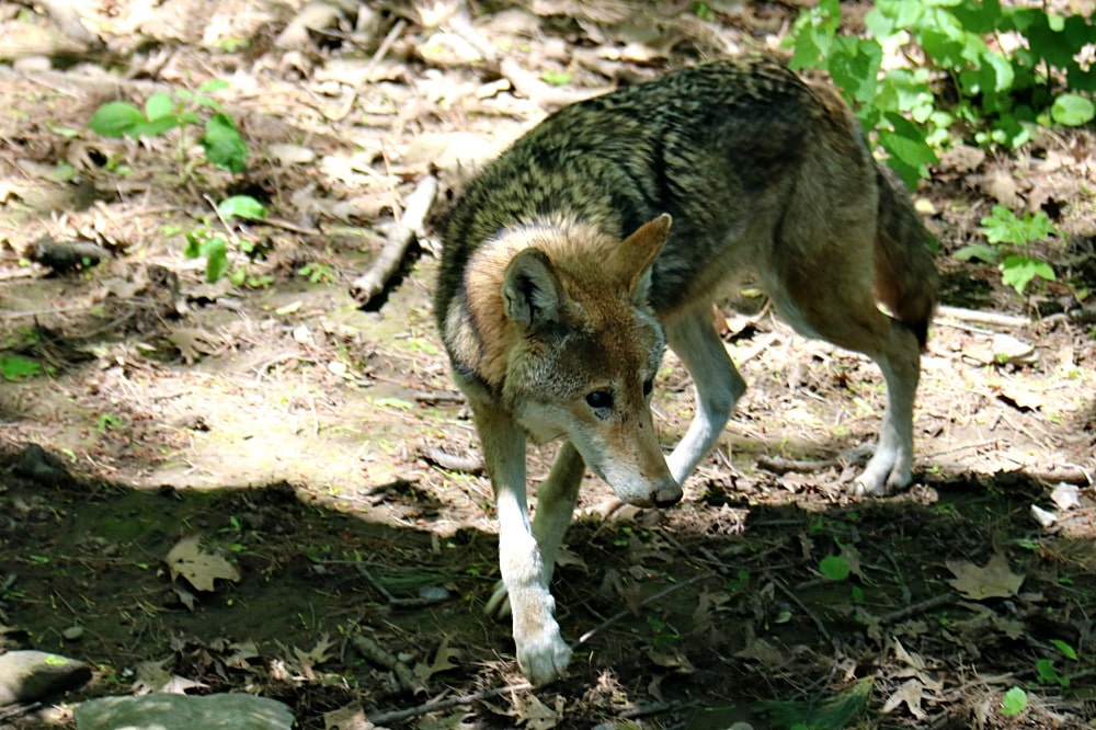 Syracuse Zoo - Red Wolf