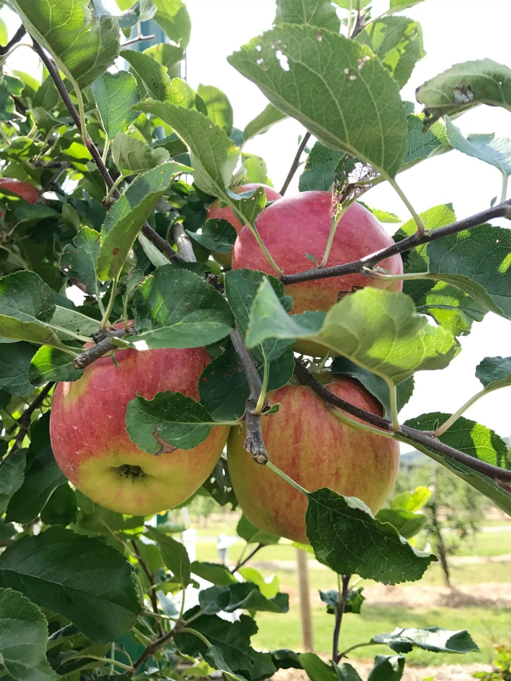 Chudleigh's Apple Farm